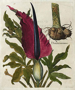 Besler: Dragon Arum