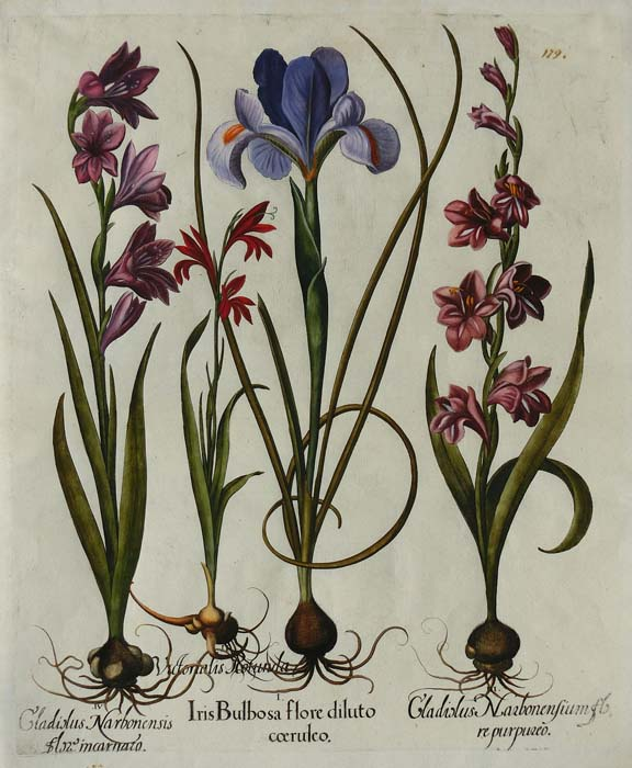 Besler: Iris and Gladioluses