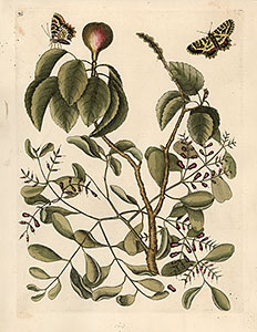Catesby - Mistletoe and Mancaneel Tree