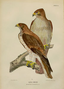 Manzella: Booted eagles